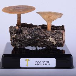 POLYPORUS ARCULARIUS