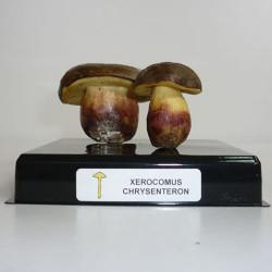 XEROCOMUS CRYSENTERON