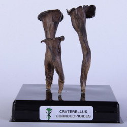 CRATERELLUS CURNUCOPIOIDES