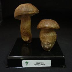 BOLETUS AESTIVALIS