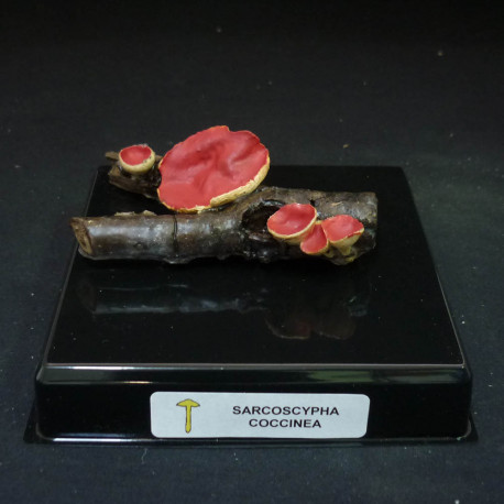 SARCOSCYPHA COCCINEA