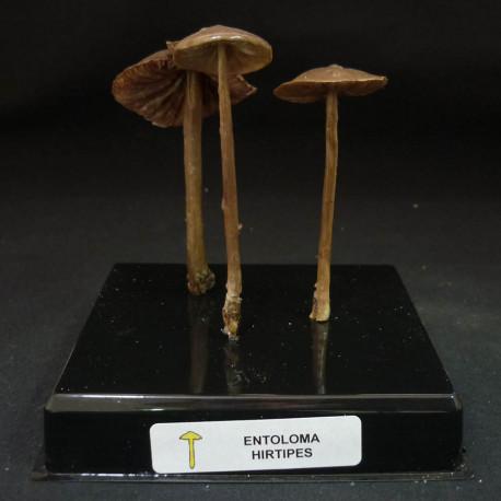 ENTOLOMA HIRTIPES