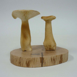 CLITOCYBE GEOTROPA